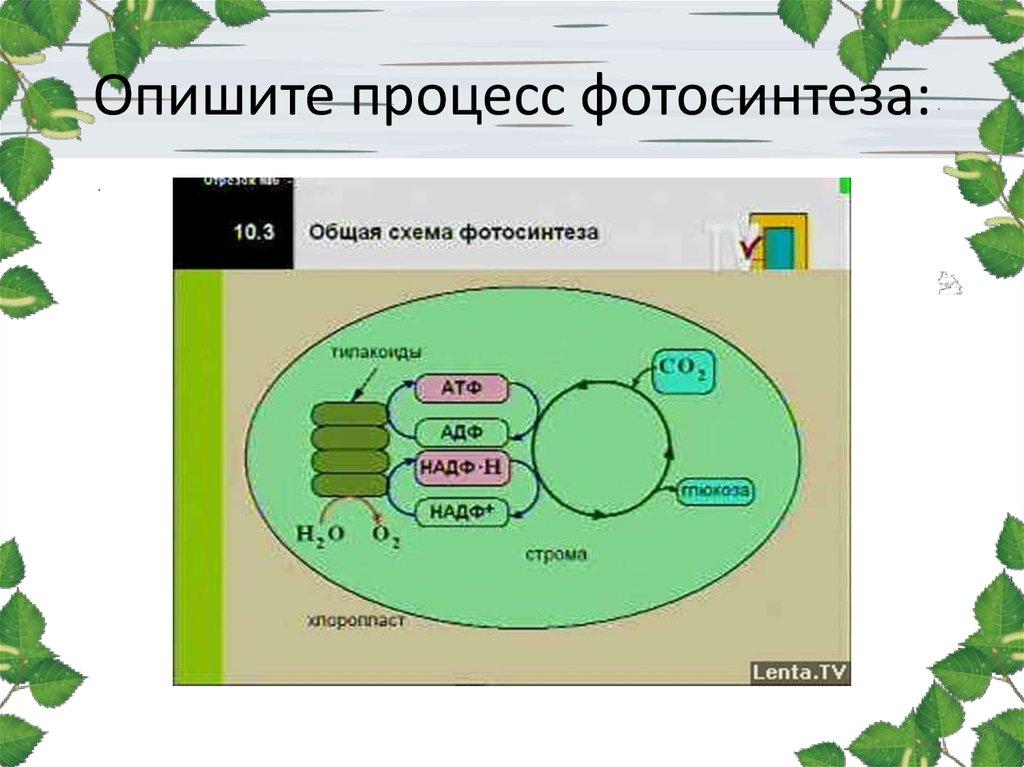Схема фотосинтеза отмечена буквой