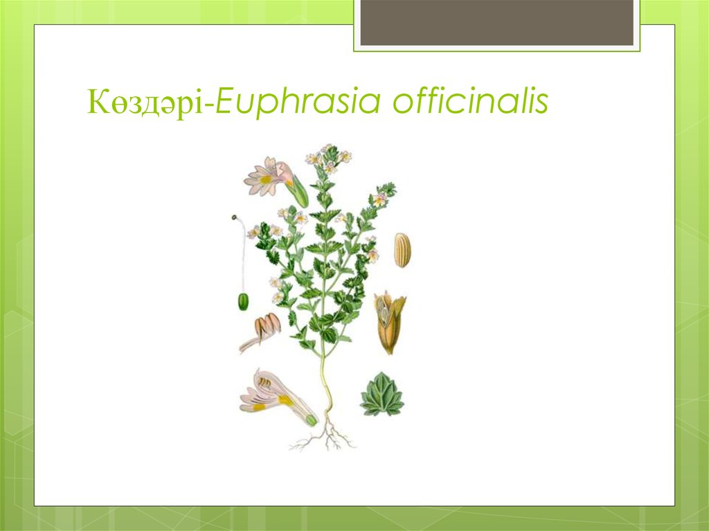 Көздәрі-Euphrasia officinalis