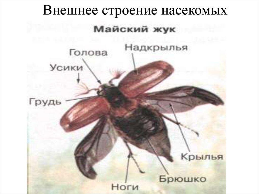 строение надкрыльев майского жука фото иногда