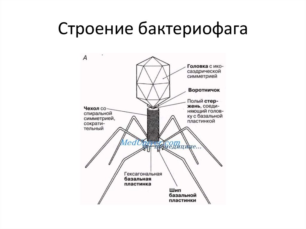 Вирус строение картинка бактериофаг
