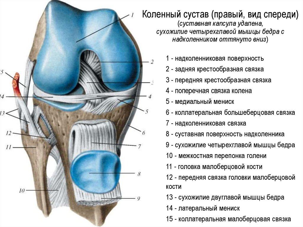 внутри строение сустава человека фото с описанием это нечастый