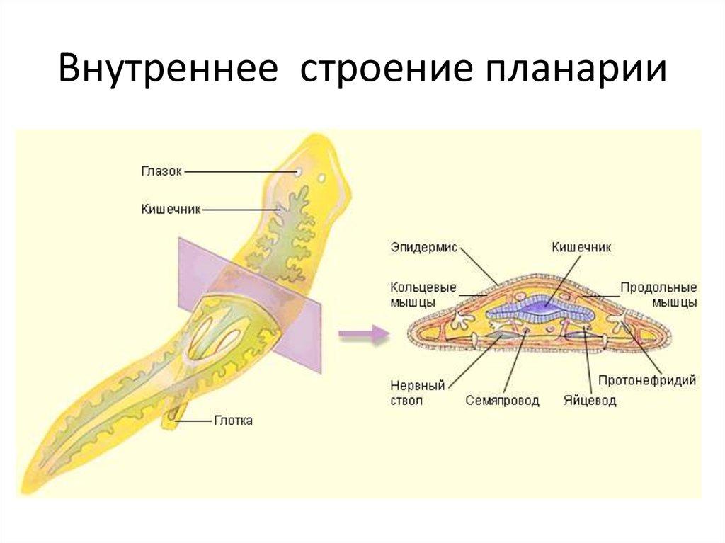 пишут, внутреннее строение белой планарии картинка взрослые