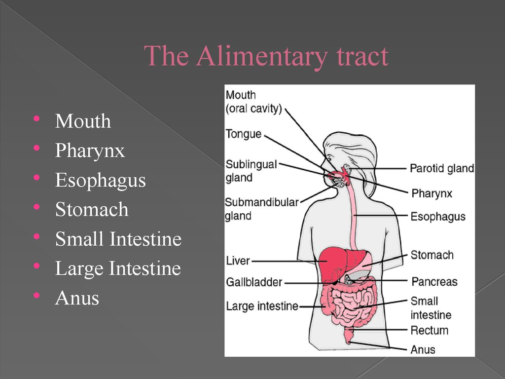 The Alimentary tract