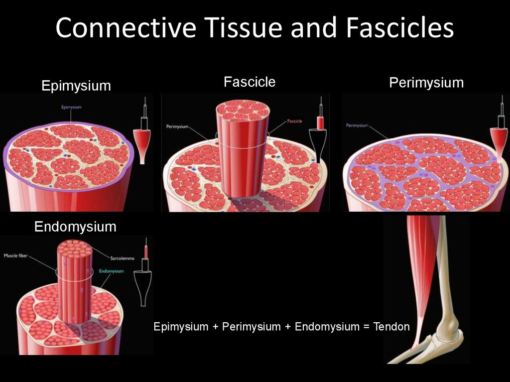 Connective Tissue and Fascicles