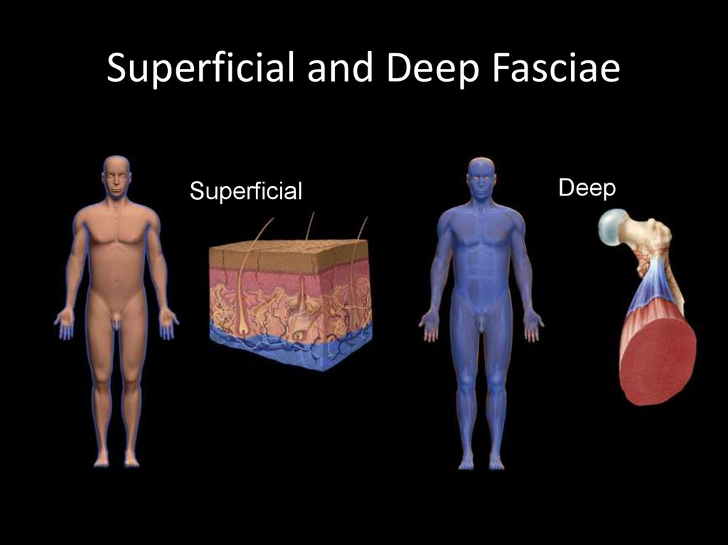 Superficial and Deep Fasciae