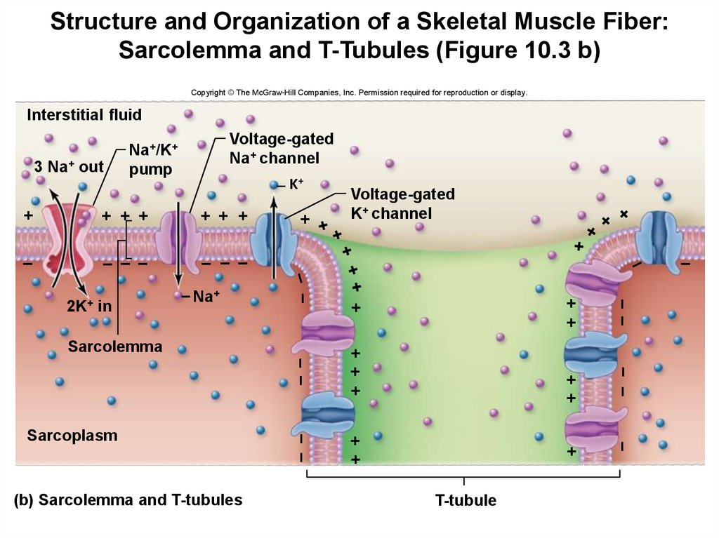 Structure and Organization of a Skeletal Muscle Fiber: Sarcolemma and T-Tubules (Figure 10.3 b)