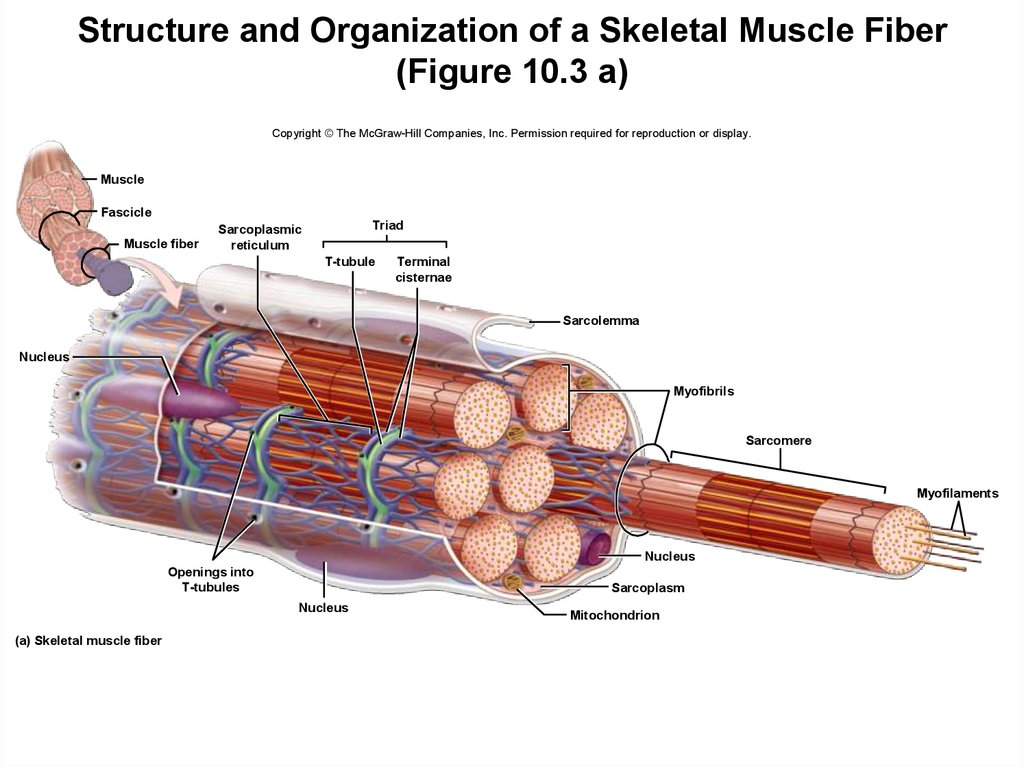 Structure and Organization of a Skeletal Muscle Fiber (Figure 10.3 a)