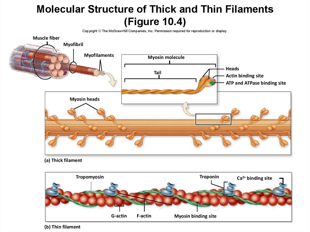 Molecular Structure of Thick and Thin Filaments (Figure 10.4)