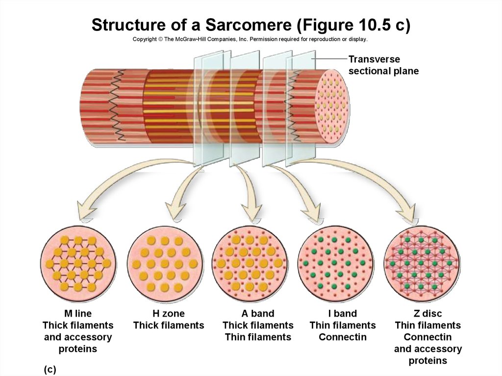 Structure of a Sarcomere (Figure 10.5 c)