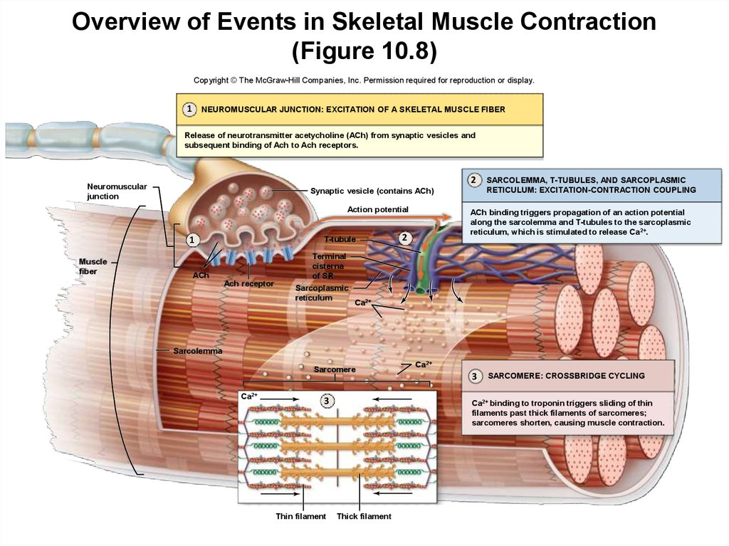 Overview of Events in Skeletal Muscle Contraction (Figure 10.8)