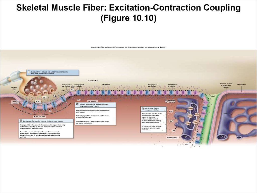 Skeletal Muscle Fiber: Excitation-Contraction Coupling (Figure 10.10)