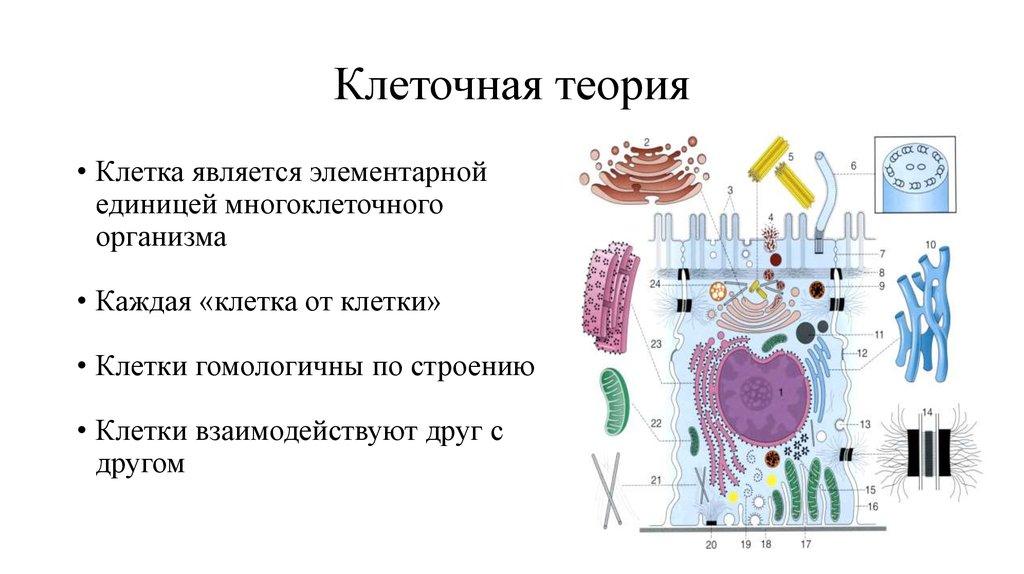 Картинки клеточной теории