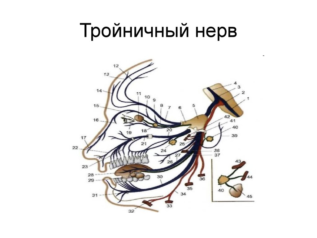 Анатомия в картинках тройничный нерв