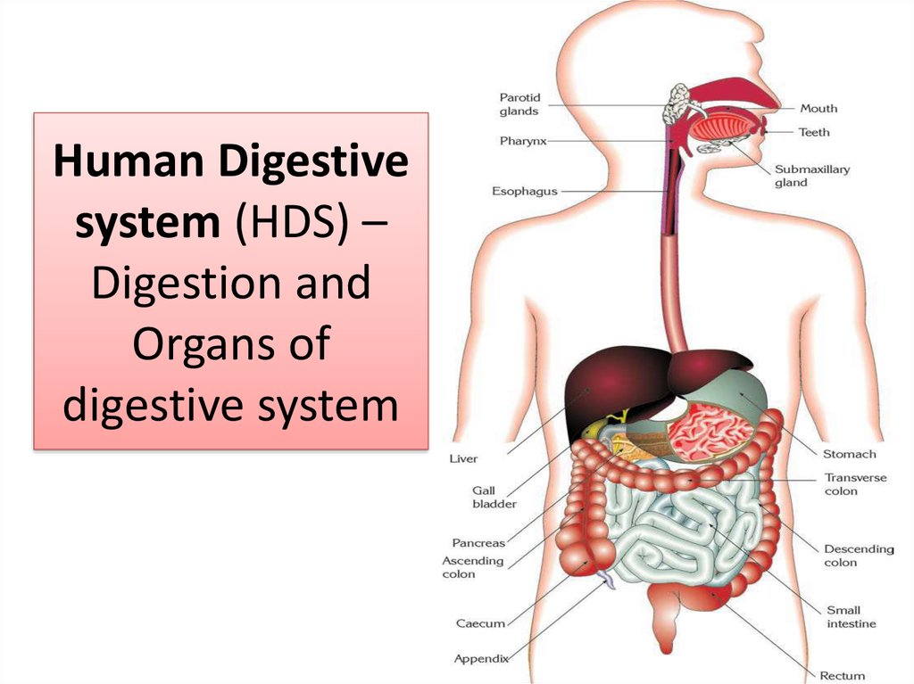 Human Digestive system (HDS) – Digestion and Organs of digestive system