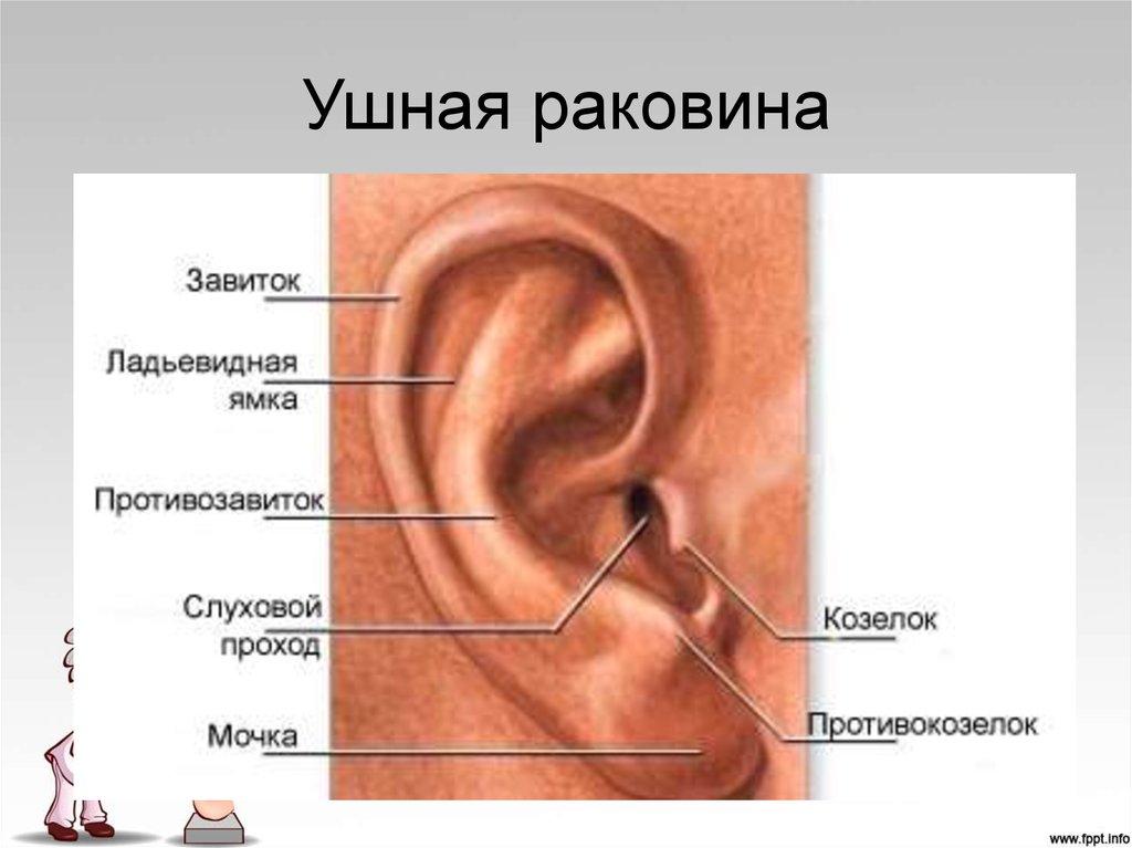 Состав входит в ушная раковина в ухе шевеления лечение