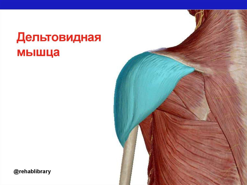 дельтовидная мышца с картинками рецепте