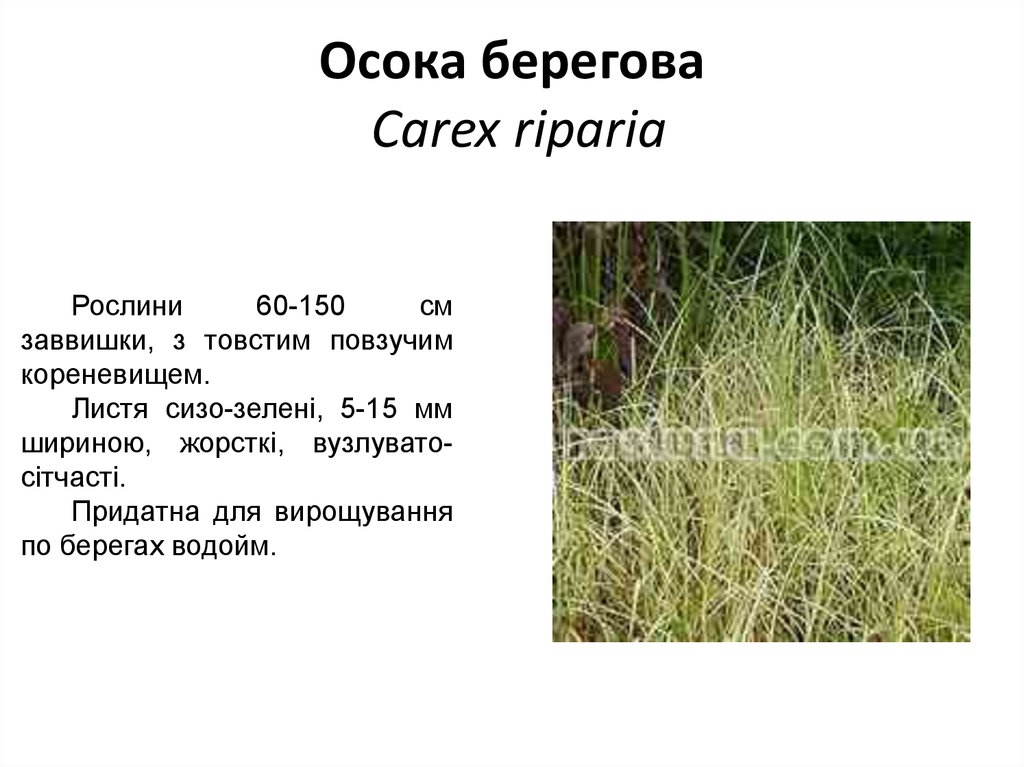 Осока берегова Carex riparia