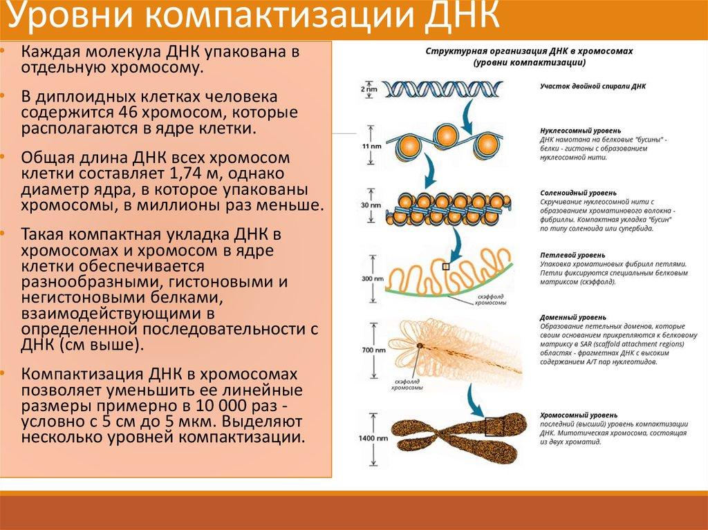 Схема компактизации днк в хромосоме