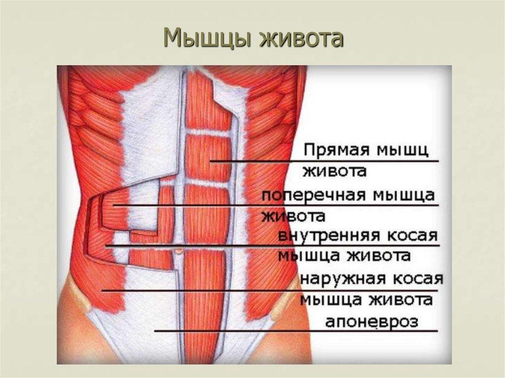 Мышцы живота анатомия фото