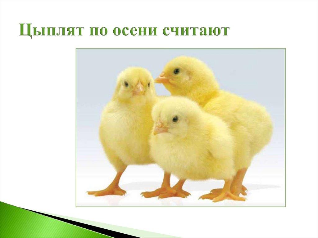 цыплят по осени считают картинка к пословице