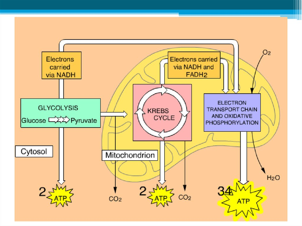 respiration cellular aerobic oxygen transport electron chain