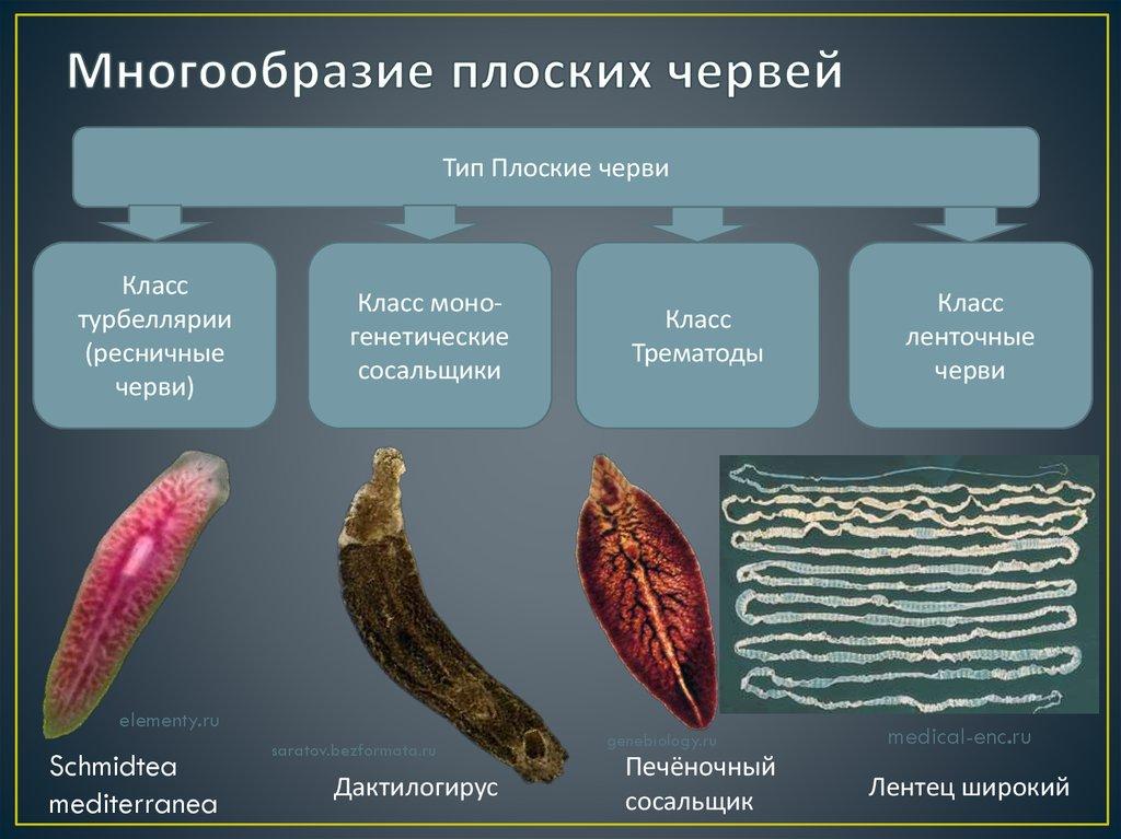 Тип плоские черви картинка