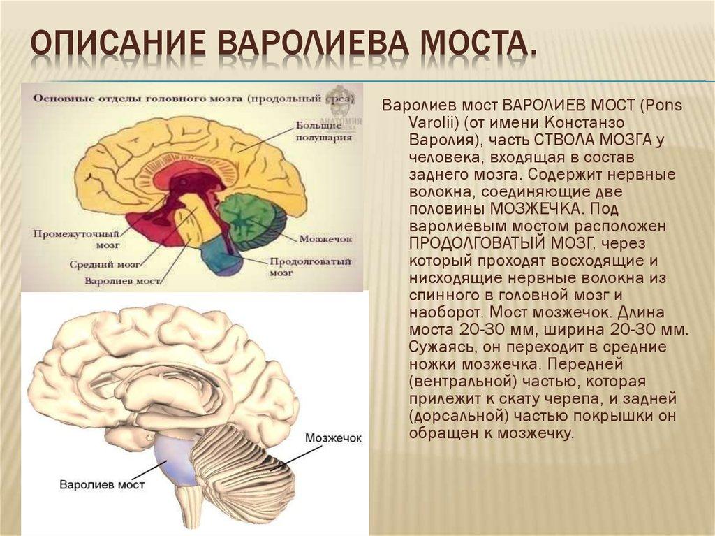 различных картинки мозга мост столярные
