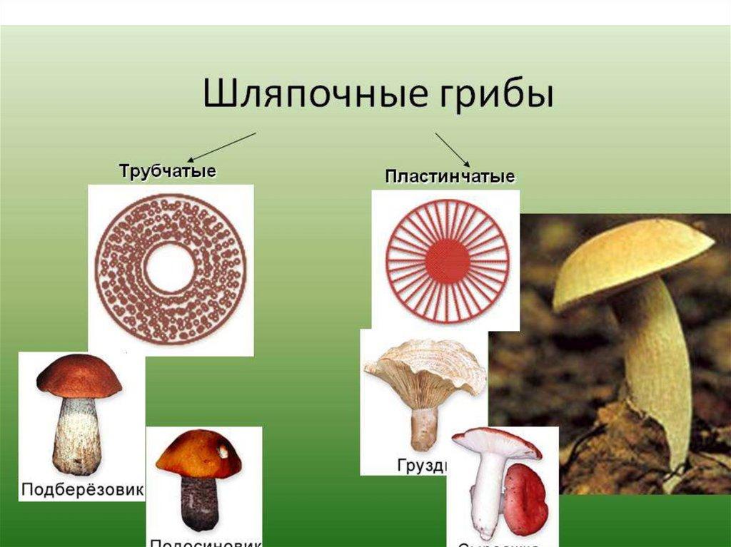 грибы шляпочные картинки чего можно сшить
