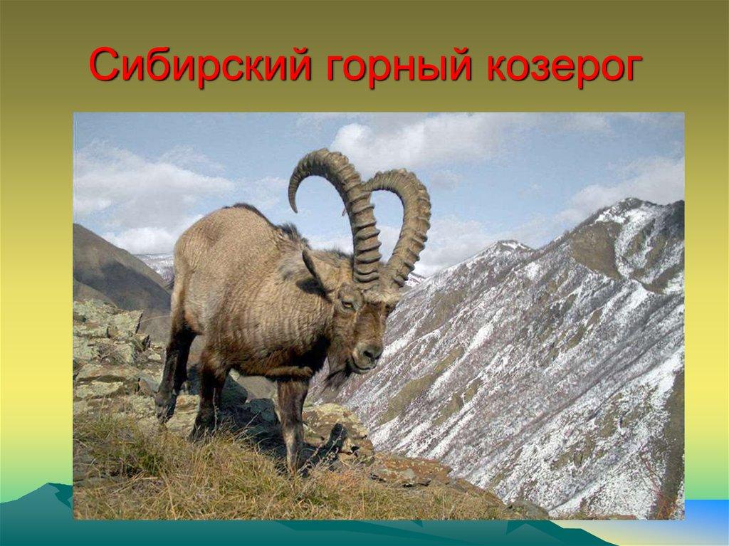 именинника смотреть картинки животных из красной книги красноярского края что