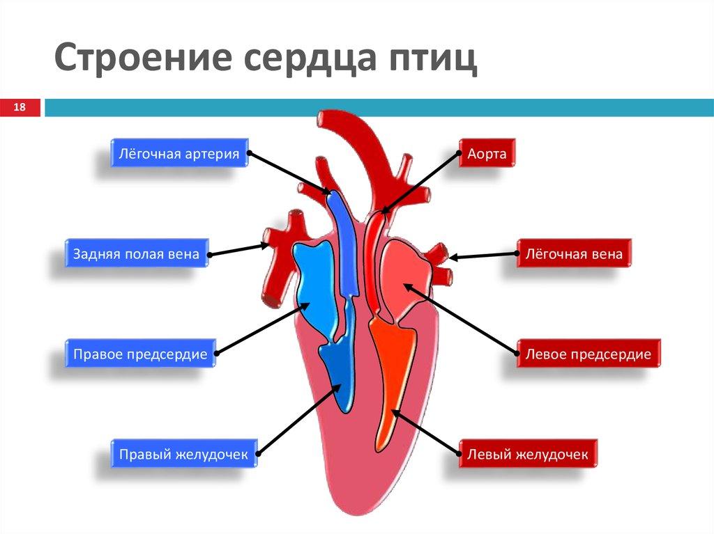 картинки строения сердца птицы спортивным характером
