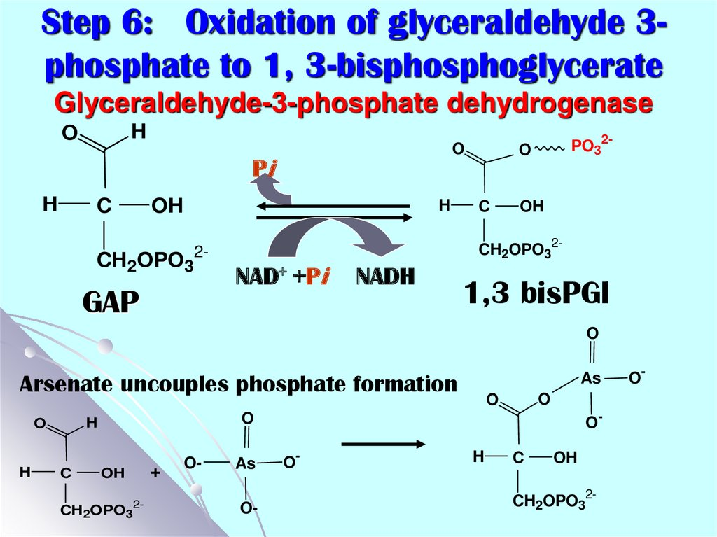 Step 6: Oxidation of glyceraldehyde 3-phosphate to 1, 3-bisphosphoglycerate Glyceraldehyde-3-phosphate dehydrogenase