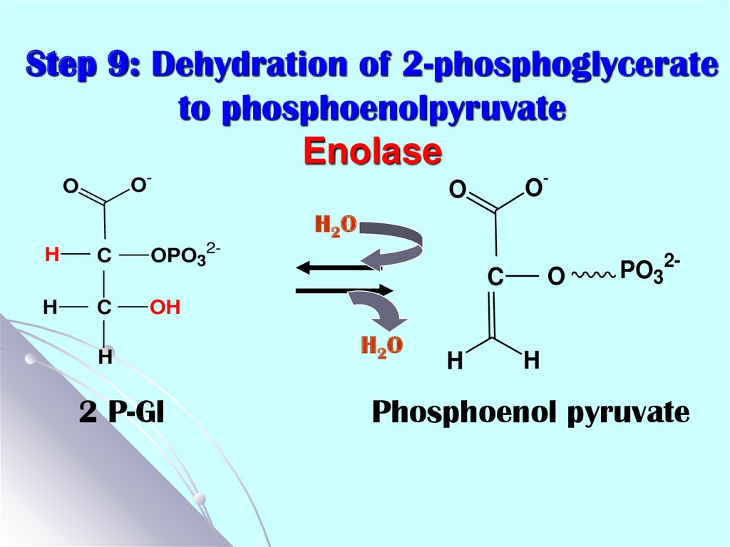 Step 9: Dehydration of 2-phosphoglycerate to phosphoenolpyruvate Enolase