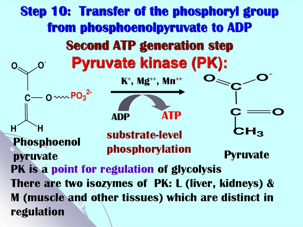 Step 10: Transfer of the phosphoryl group from phosphoenolpyruvate to ADP Second ATP generation step Pyruvate kinase (PK):