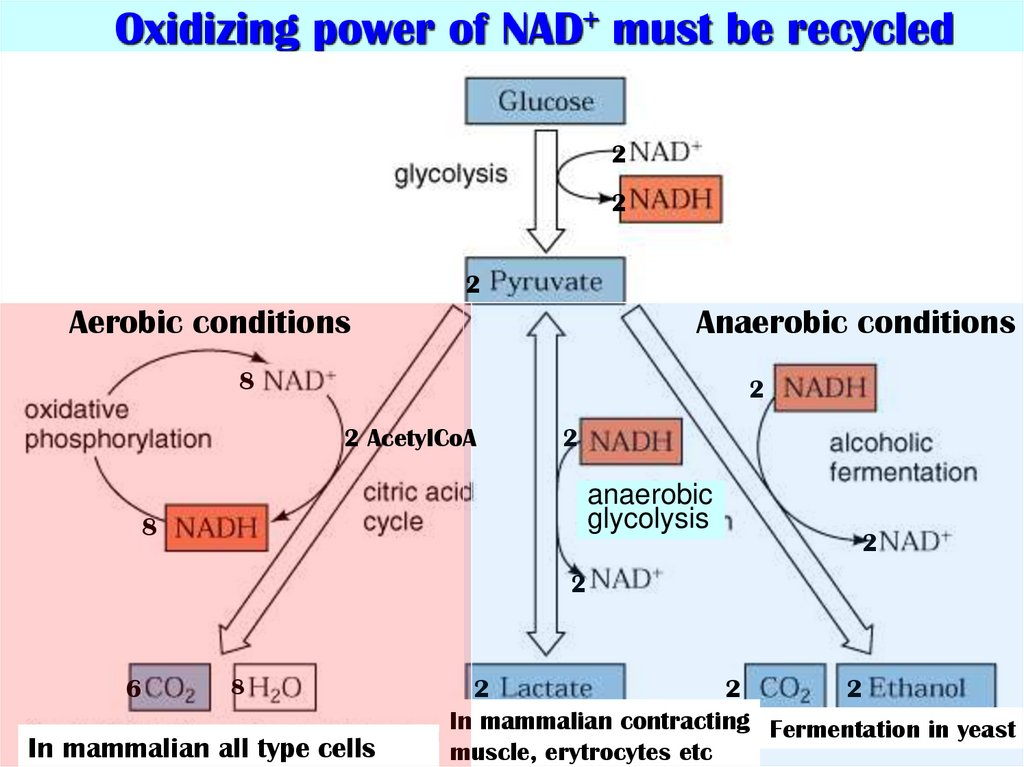 Oxidizing power of NAD+ must be recycled