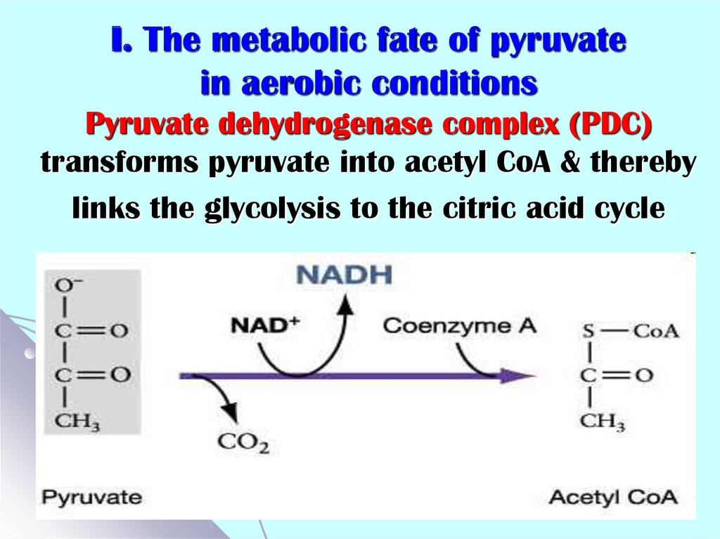 I. The metabolic fate of pyruvate in aerobic conditions Pyruvate dehydrogenase complex (PDC) transforms pyruvate into acetyl