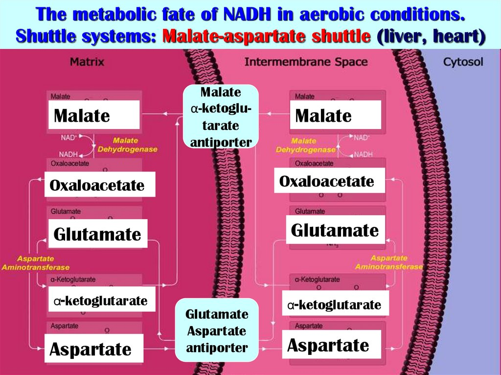 The metabolic fate of NADH in aerobic conditions. Shuttle systems: Malate-aspartate shuttle (liver, heart)