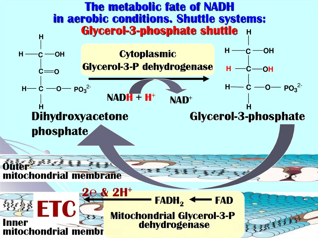 The metabolic fate of NADH in aerobic conditions. Shuttle systems: Glycerol-3-phosphate shuttle