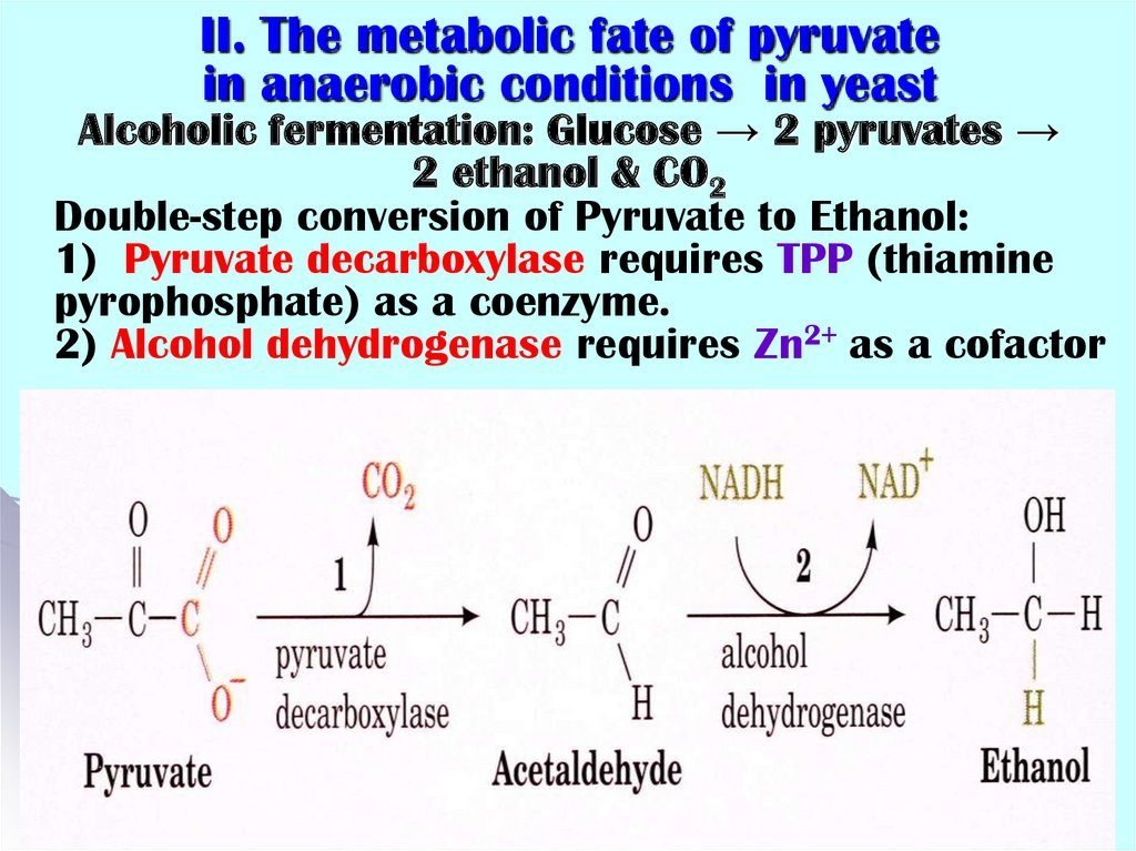 II. The metabolic fate of pyruvate in anaerobic conditions in yeast Alcoholic fermentation: Glucose → 2 pyruvates → 2 ethanol &