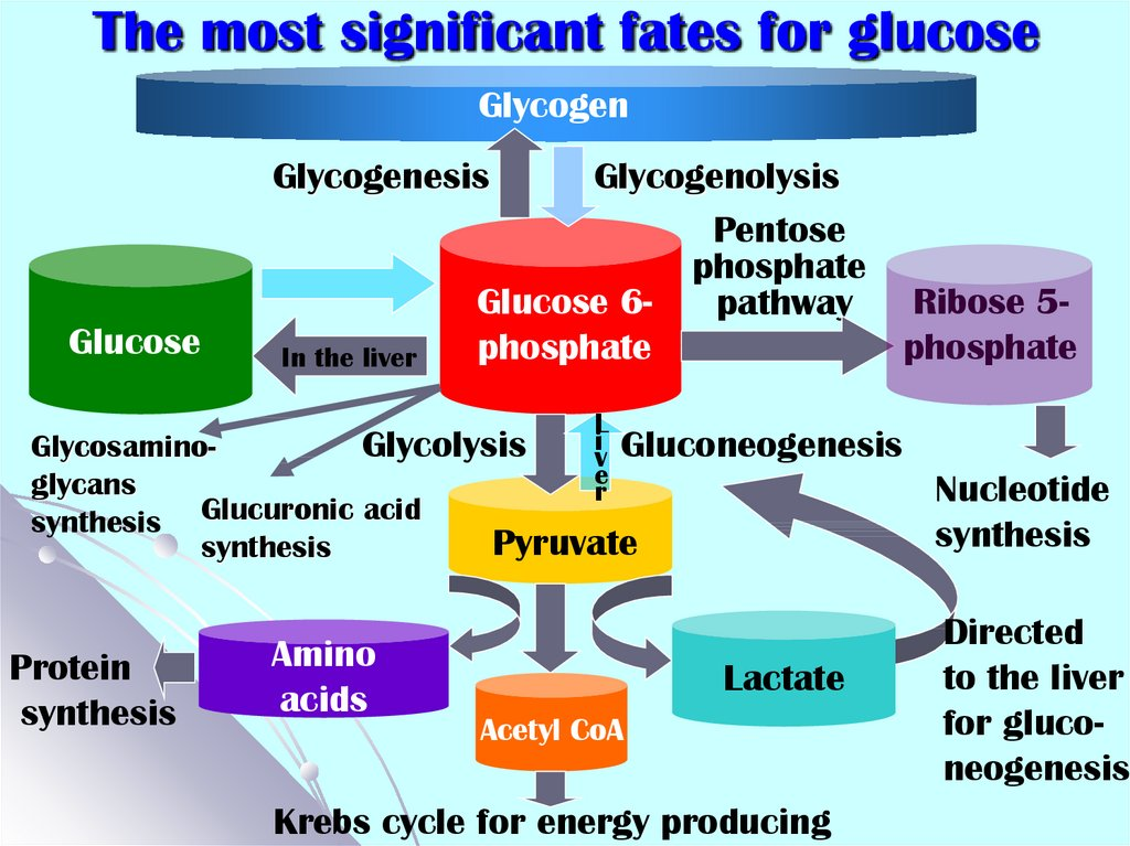 The most significant fates for glucose