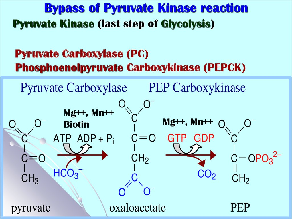 Bypass of Pyruvate Kinase reaction