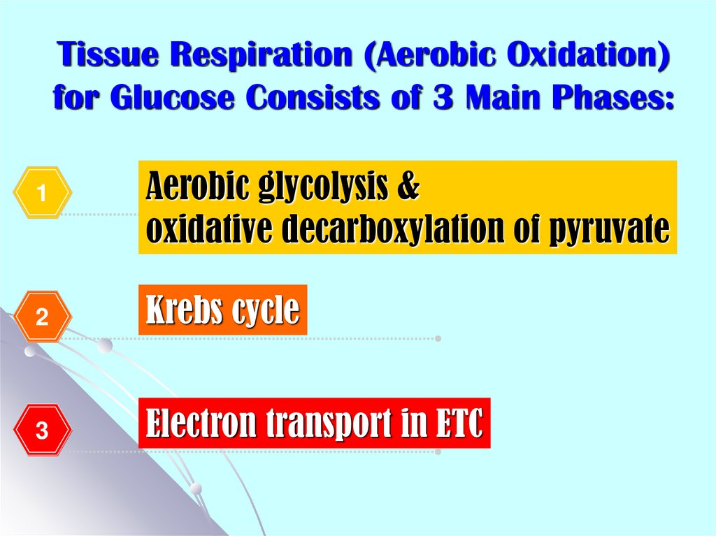 Tissue Respiration (Aerobic Oxidation) for Glucose Consists of 3 Main Phases: