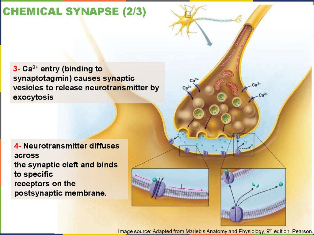 Chemical Synapse (2/3)