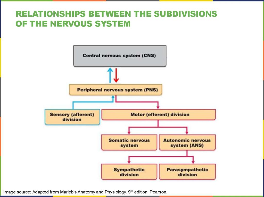 Relationships between the subdivisions of the nervous system