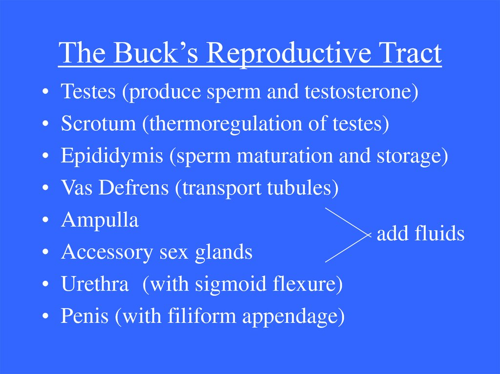 The Buck's Reproductive Tract