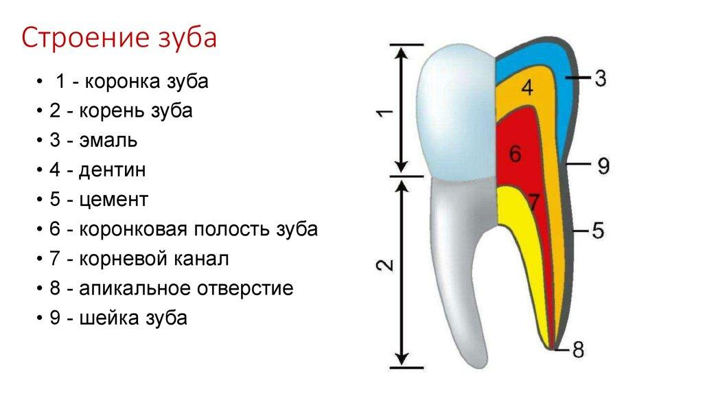 Картинка строение зуба без подписей