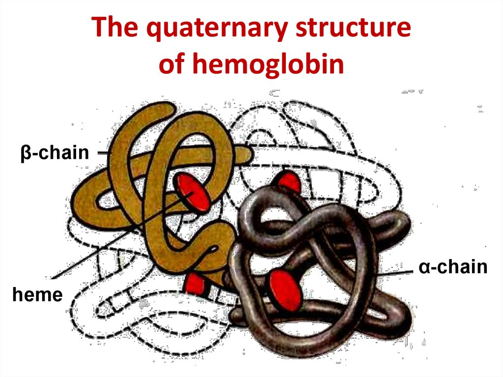 The quaternary structure of hemoglobin