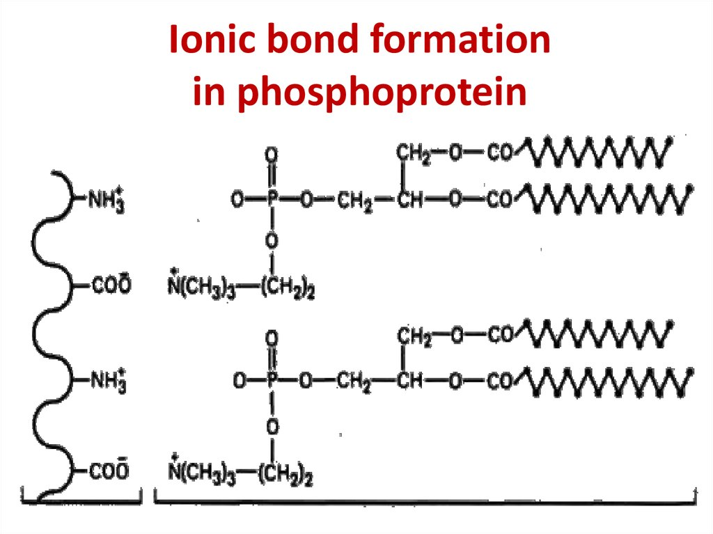 Ionic bond formation in phosphoprotein