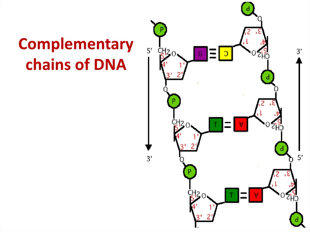 Complementary chains of DNA