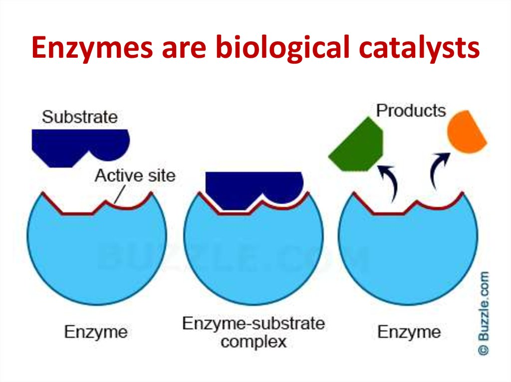Enzymes are biological catalysts