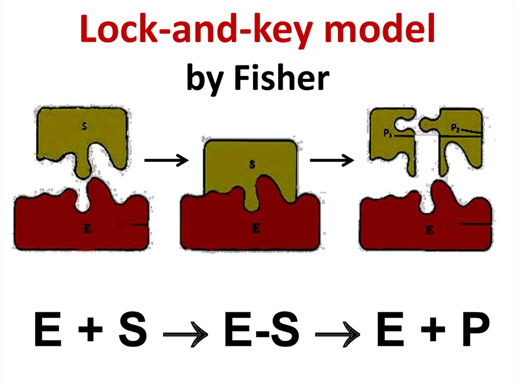 Lock-and-key model by Fisher